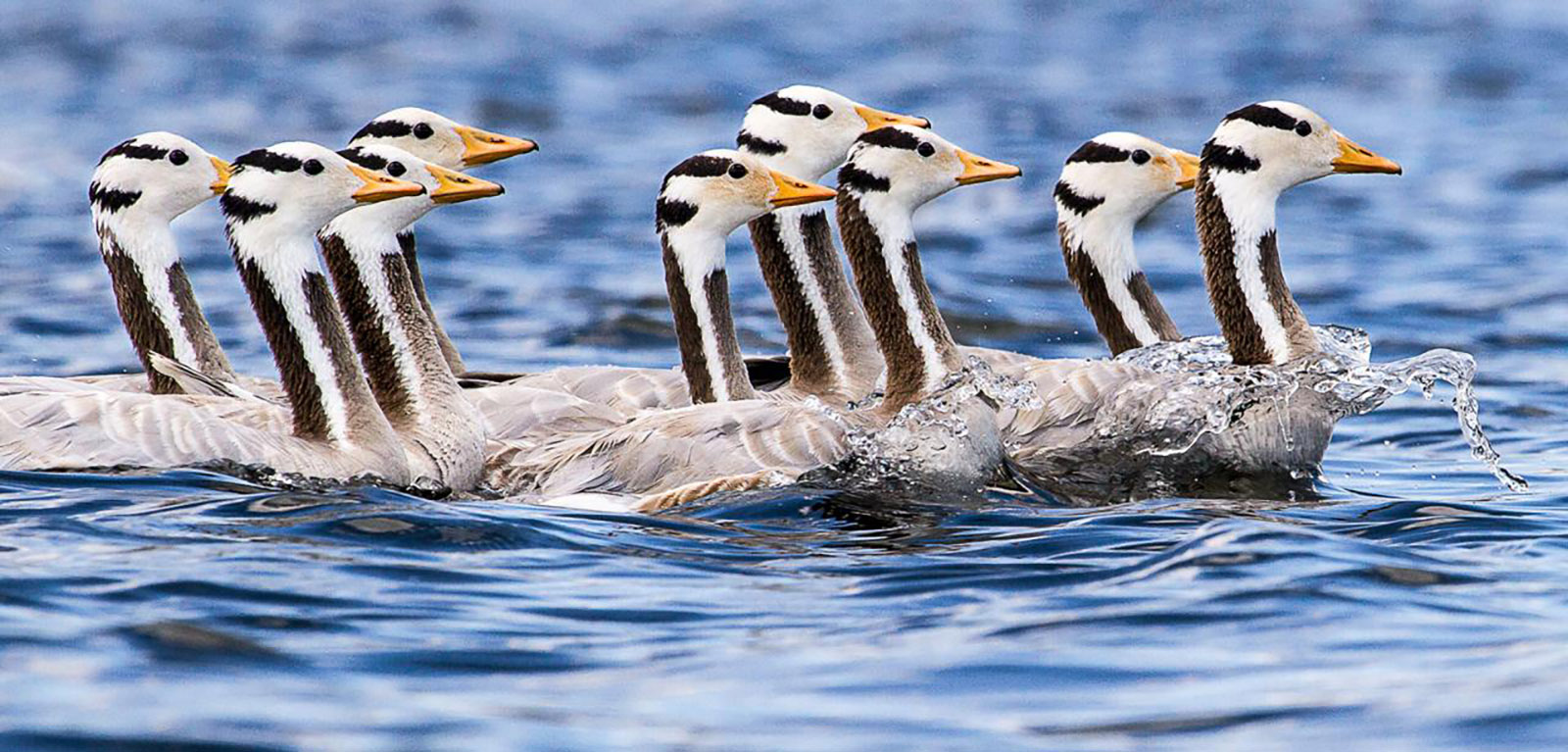 Bar-Headed Geese - Photo Courtesy of Bruce Moffat
